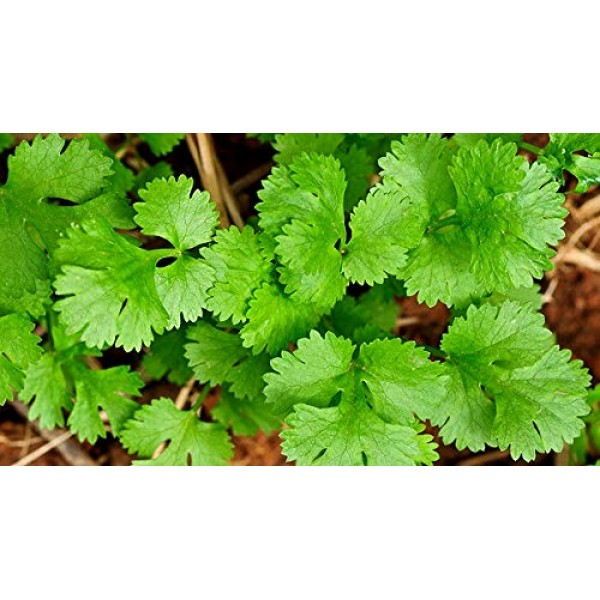 Coriander Seeds Cilantro Chinese Parsley up to 500 Seeds