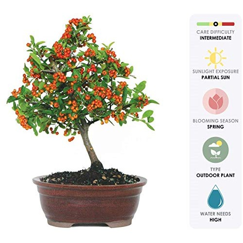 Brussels Live Dwarf Pyracantha Outdoor Bonsai Tree - 5 Years Ol...