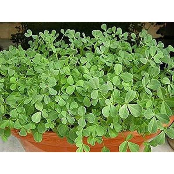 Fenugreek Sprouting Seed, Non GMO - 12 oz - Country Creek Acres ...