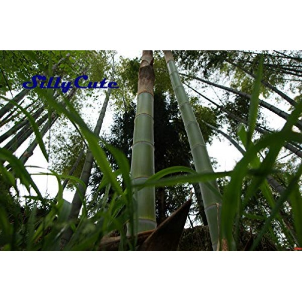 Dried Bamboo Shoots Premium Quality by SillyCute