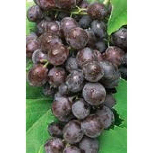 Black seedless grapes fresh produce fruit per pound