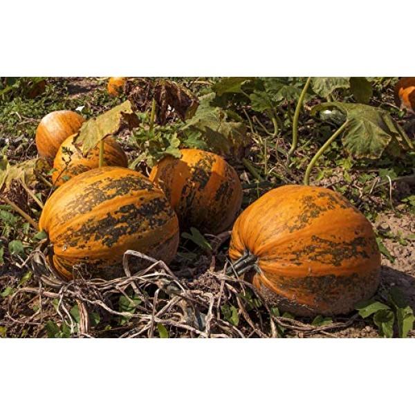 Wilderness Poets Oregon Pumpkin Seeds - Organic, Heirloom, Raw -...