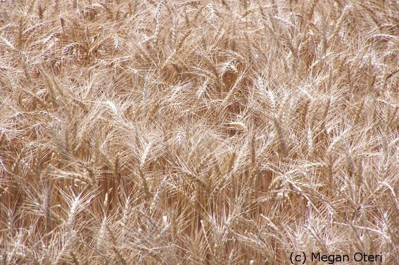 Megan Oteri Wheat Field
