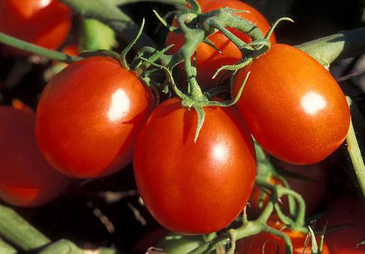 ARS_Ohio_processing_tomato