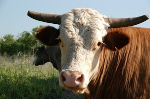 meat cow