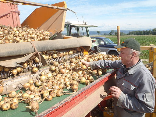 Onion_harvest_in_Bavaria_5
